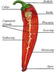 Where is the Heat in Chilli Peppers?